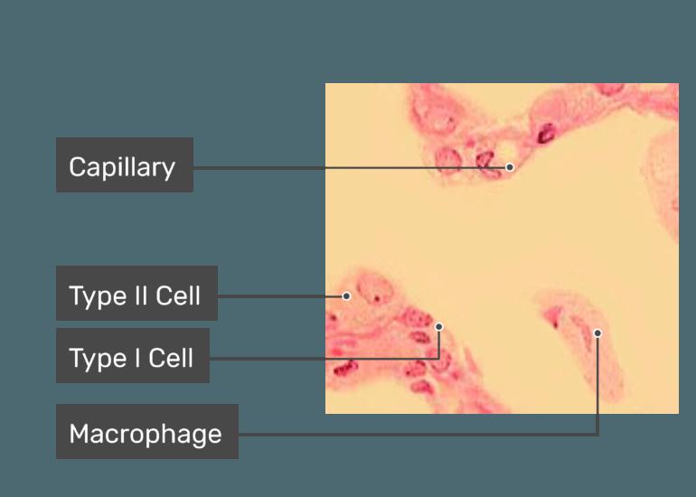 Lung Alveolus Structure Lung Alveoli Anatomy