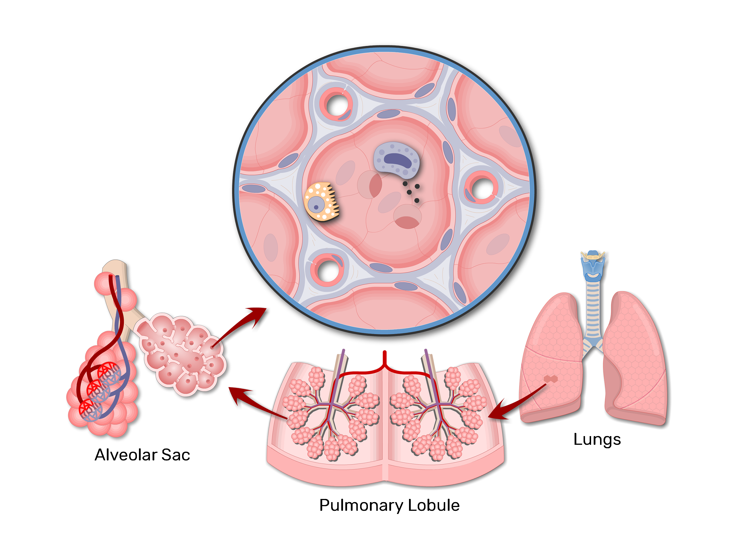 Lung Alveolus Structure Lung Alveoli Anatomy