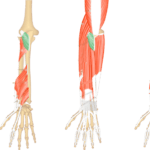 Anconeus Muscle - Attachments, Action & Innervation