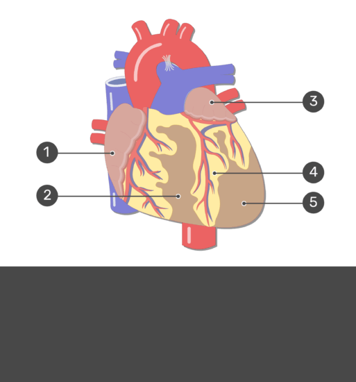 Test yourself image for the anterior view of the heart with answers hidden.