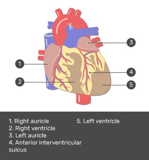 Test yourself image for the anterior view of the heart with the answers shown.