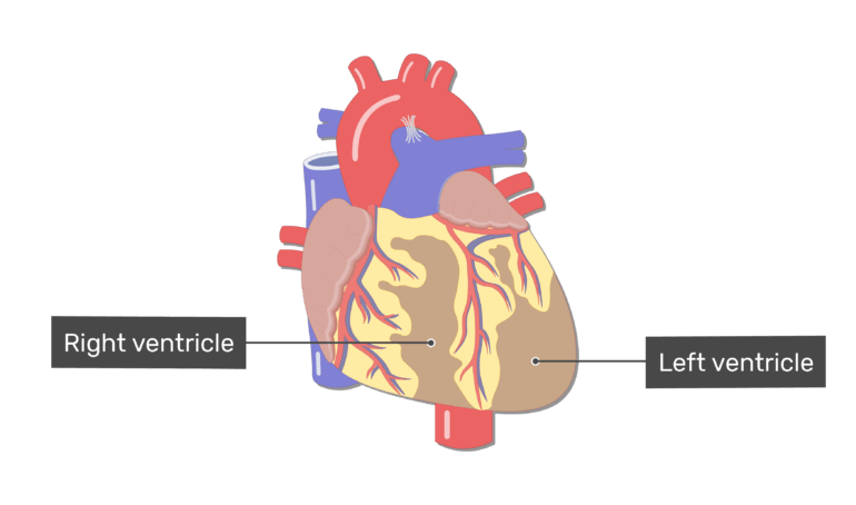 Labelled image of the right and left ventricle of the heart on the posterior side of the heart.
