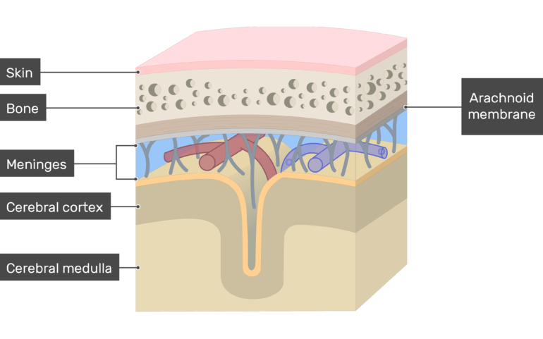 Cross-section of the meninges showing the Arachnoid membrane in addition to Skin, Bone, Cerebral cortex, Cerebral medulla layers