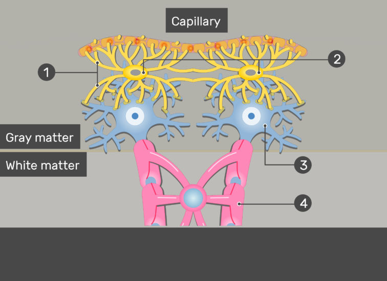 An image showing the Astrocytes and it's process connected to the Neurons and Capillary in addition to Oligodendrocyte and Gray and white matter numbered and without answers