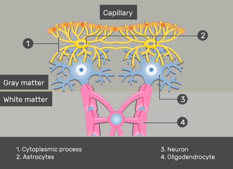 An image showing the Astrocytes and it's process connected to the Neurons and Capillary in addition to Oligodendrocyte and Gray and white matter numbered and labeled