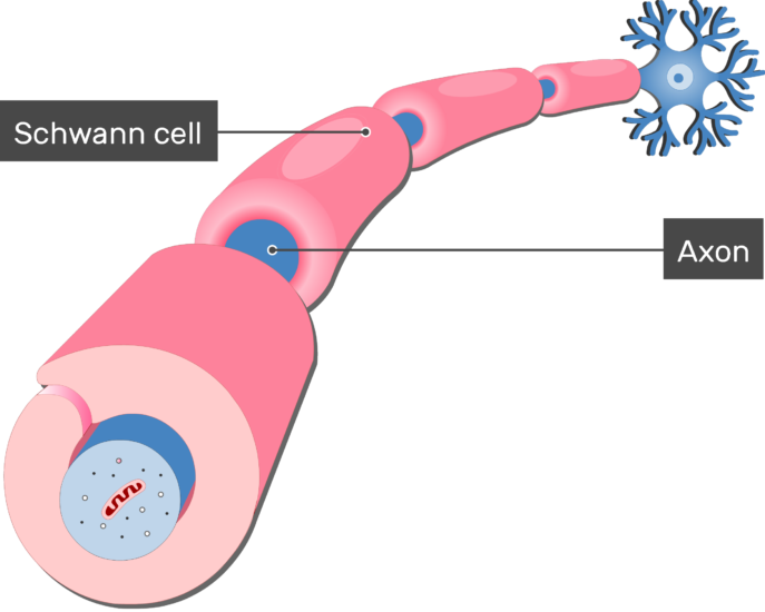 An image showing an axon of a neuron Myelinated by Schwann Cells, the axon and schwann cells are labeled