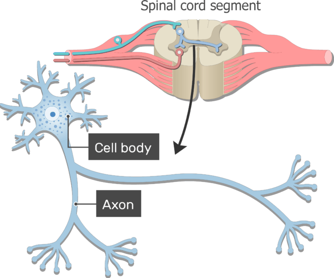 An image showing the Axon and Cell body of neuron with standard structures all labeled ,from spinal cord segment