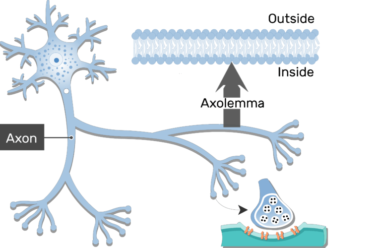 An image of neuron showing its structures (axon is labeled)