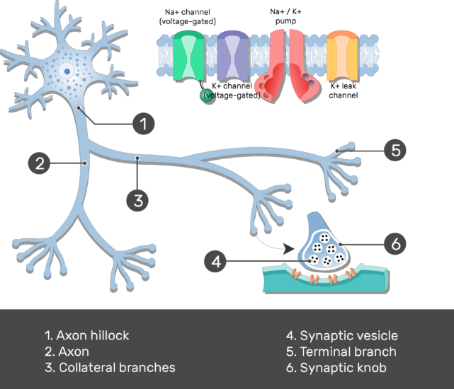 Test yourself image showing the Synaptic vesicle and Synaptic knob of the Terminal branch in addition to the Collateral branch, proteins of the axon membrane, Axon hillock and axon, all numbered with answers below