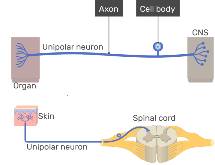 An image showing the axon and cell body all labeled , unipolar neuron connecting between the organ and the CNS
