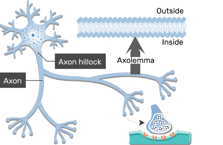 An image of neuron showing its structures (Axon hillock and axon are labeled)