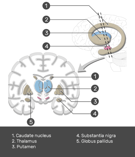 Test yourself image showing the Basal Nuclei (Substantia nigra, Globus pallidus, Putamen, Caudate nucleus, and Thalamus) are numbered with answers below, lateral view and coronal section of the brain