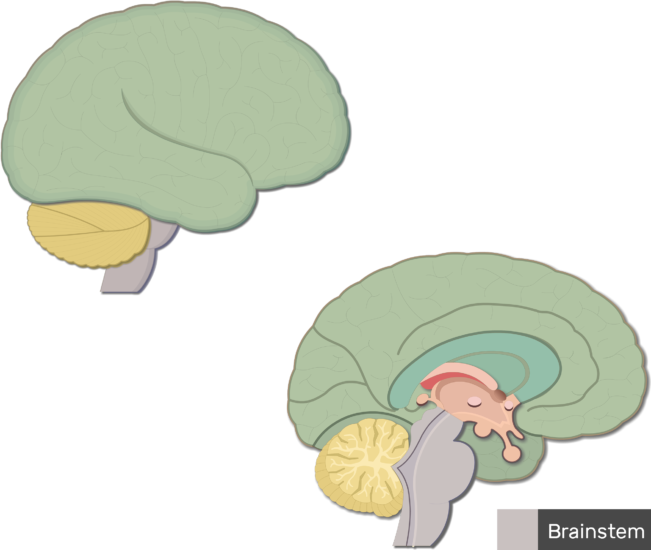 An image showing the brainstem colored and labeled, lateral and sagittal view of the brain