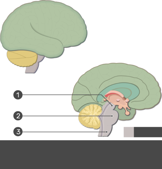 An image showing the Medulla oblongata, Pons and Midbrain numbered without answers, lateral and sagittal view of the brain