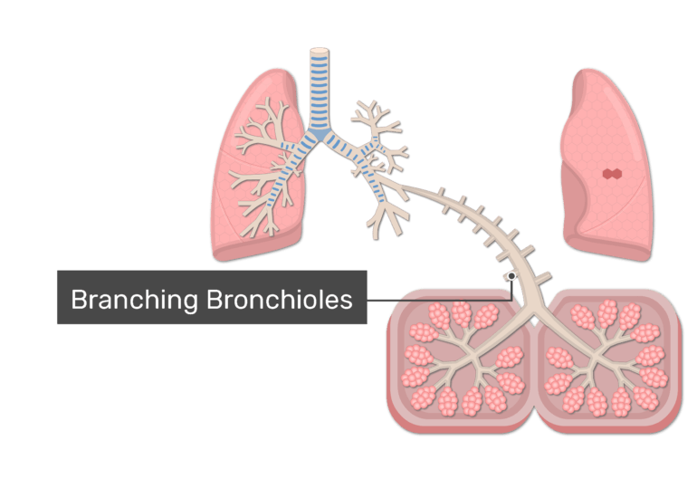 Branching bronchioles of the lungs