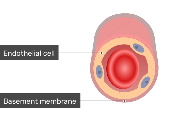 Cross-section of a capillary showing the Endothelial cells and basement membrane