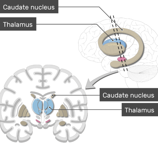 An image showing the Basal Nuclei (Caudate nucleus, and Thalamus) are labeled, lateral view and coronal section of the brain