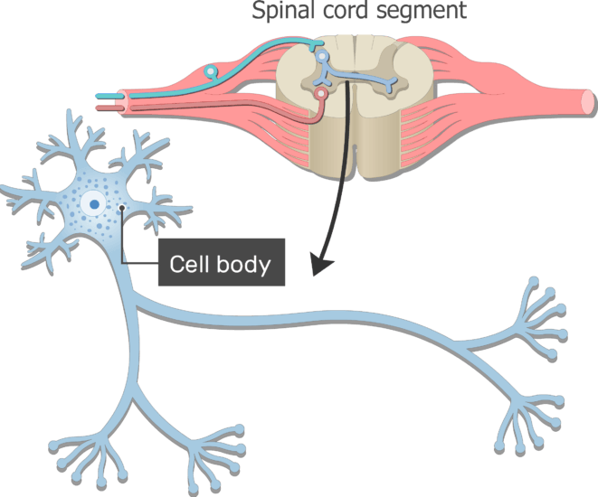 An image showing the Cell body of neuron which is labeled with standard structures from spinal cord segment