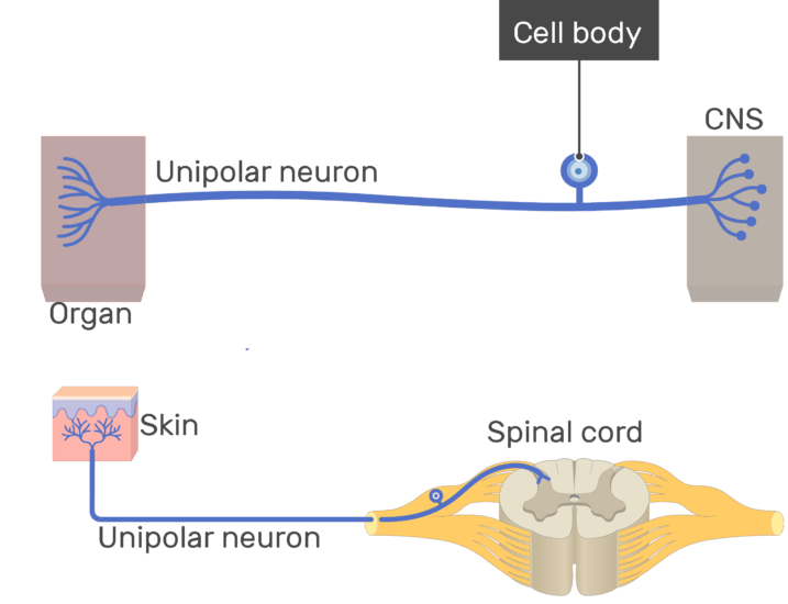 An image showing the cell body labeled , unipolar neuron connecting between the organ and the CNS