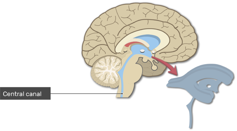 An image showing the Central canal in Midsagittal view of the brain