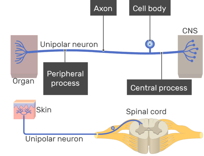 An image showing the Central process, Peripheral process, cell body and axon all labeled , unipolar neuron connecting between the organ and the CNS