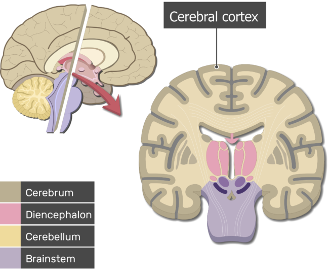 Sagittal and coronal planes of the cerebrum showing the cerebral cortex and the brain parts (Cerebrum, Diencephalon, Cerebellum and Brainstem)