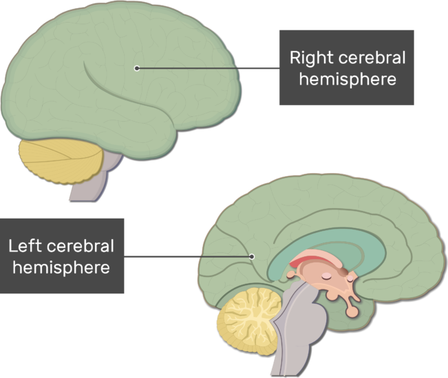 An image showing lateral view of the Right cerebral hemisphere of the and sagittal view of the Left cerebral hemisphere of the brain
