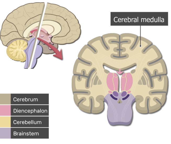 Sagittal and coronal planes of the cerebrum showing the cerebral medulla and the brain parts (Cerebrum, Diencephalon, Cerebellum and Brainstem)