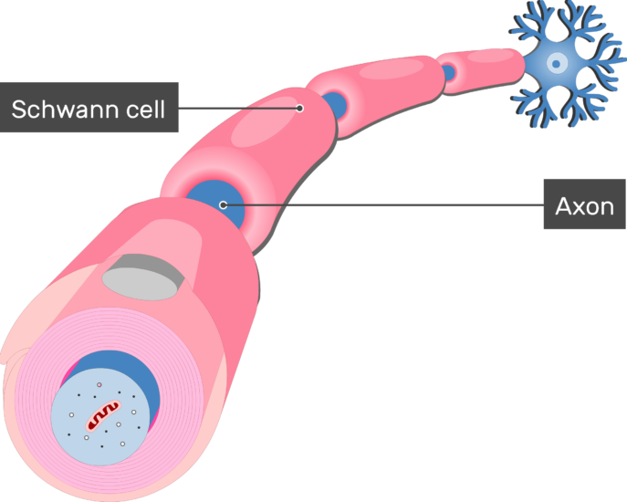 An image showing an axon of a neuron Myelinated by Schwann Cells after the Myelination process , the axon and schwann cells are labeled