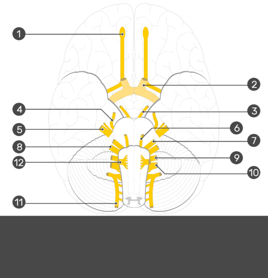 Test yourself image showing the cranial nerves from inferior aspect of the brain (1. Olfactory 2. Trochlear 3. Trigeminal 4. Vestibulocochlear 5. Hypoglossal 6. Spinal accessory 7. Optic 8. Oculomotor 9. Abducens 10. Facial 11. Glossopharyngeal 12. Vagus) all numbered without answers