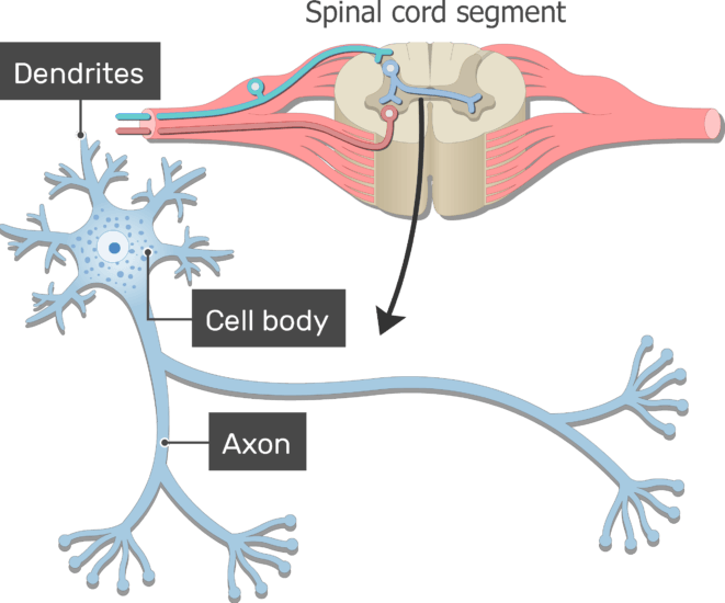 An image showing the Dendrites, Axon and Cell body of neuron with standard structures all labeled ,from spinal cord segment
