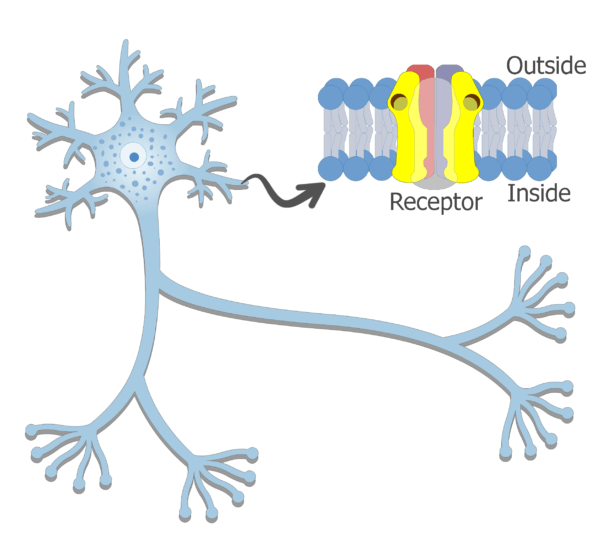An image of a neuron showing the dendrites in separated illustration (expand)