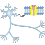 Dendrites - Structure and Functions