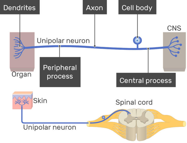 An image showing the Dendrites , Central process, Peripheral process, cell body and axon all labeled , unipolar neuron connecting between the organ and the CNS