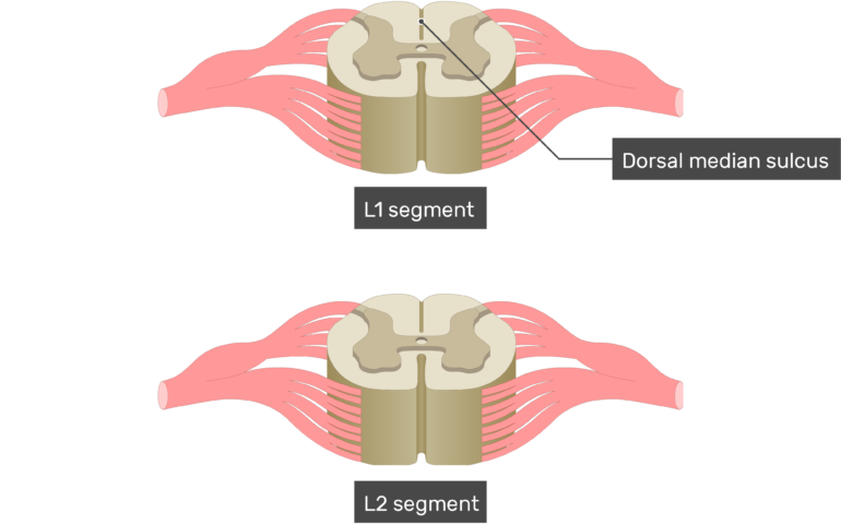Spinal segments (L2,L2) showing Dorsal median sulcus of the spinal cord