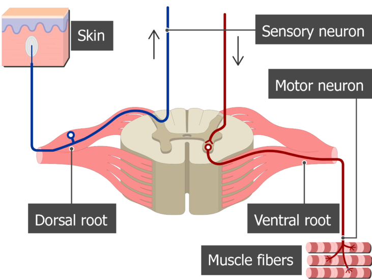 Spinal cord segment cross-sectional image showing the sensory nerve, motor nerve, the ventral and dorsal roots and the dorsal ganglion
