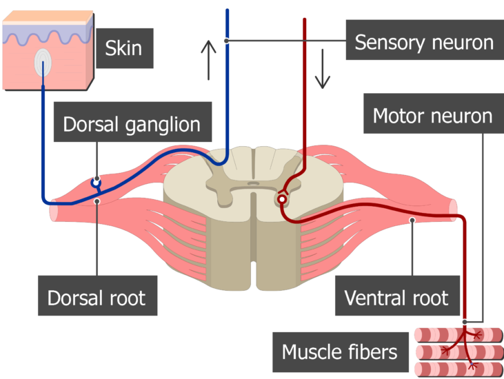 Spinal cord segment cross-sectional image showing the sensory nerve, motor nerve and the ventral and dorsal roots