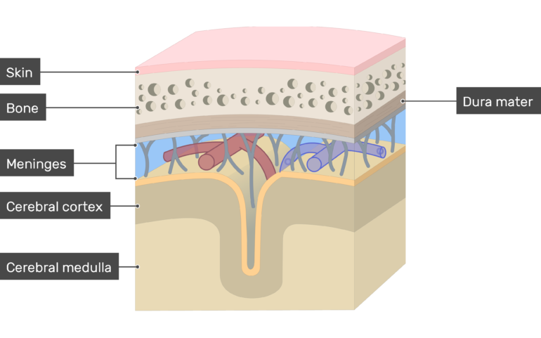 Cross-section of the meninges showing the Dura mater in addition to Skin, Bone, Cerebral cortex, Cerebral medulla layers