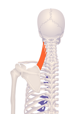 First image in animation of a figure with an elevated medial border
