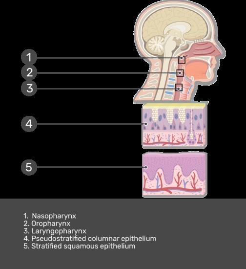 Pharynx Histology - Epithelial Lining of the Pharynx
