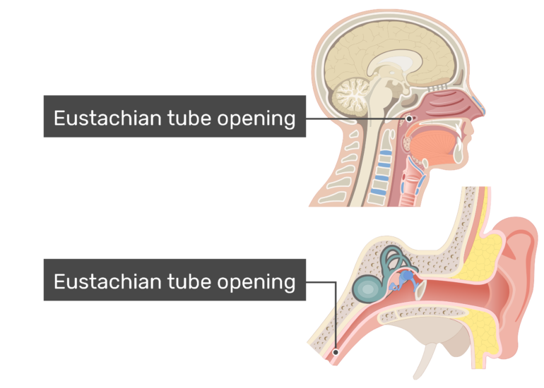 Sagittal and middle ear view with labels: Eustachian tube openings