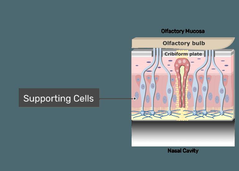 Olfactory Mucosa (Epithelium & lamina Propria)