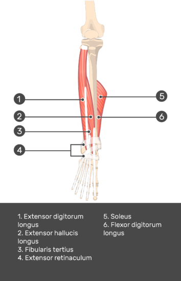 Extensor Digitorum Longus Muscle - Test yourself 11
