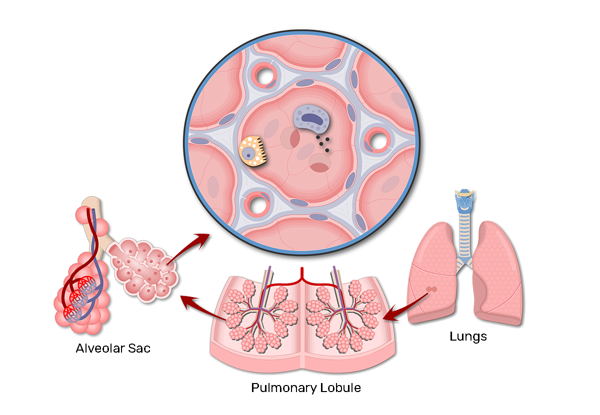 Lung Alveoli - Location of Alveolar Ducts and Alveolar Sacs