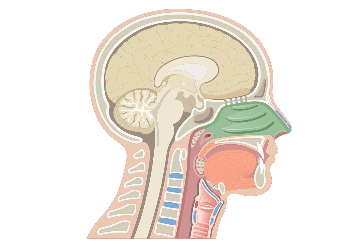 Midsagittal view of the nasal cavity.