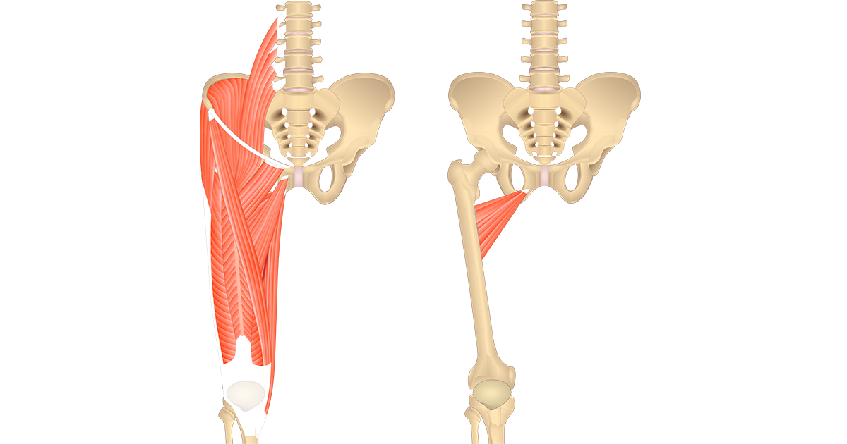 An image showing the anterior view of the lower spinal column, pelvis and the thigh with all anterior thigh muscles on the left and isolated adductor brevis on the right