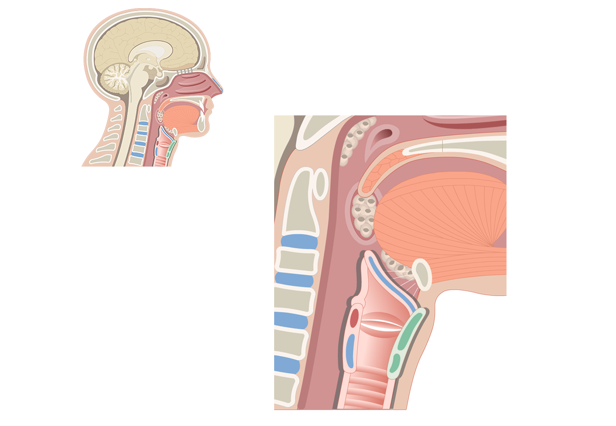 Location and Functions of the Larynx