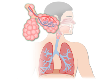 A figure demonstrating the respiratory system including alveoli, lungs, trachea and sagittal view of the mouth.