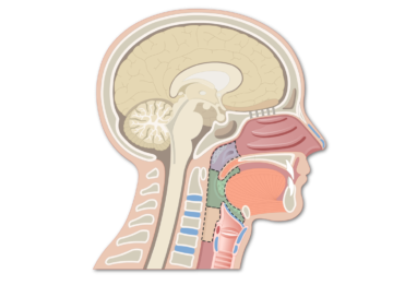 Featured Image of the Anatomical Regions of the Pharynx