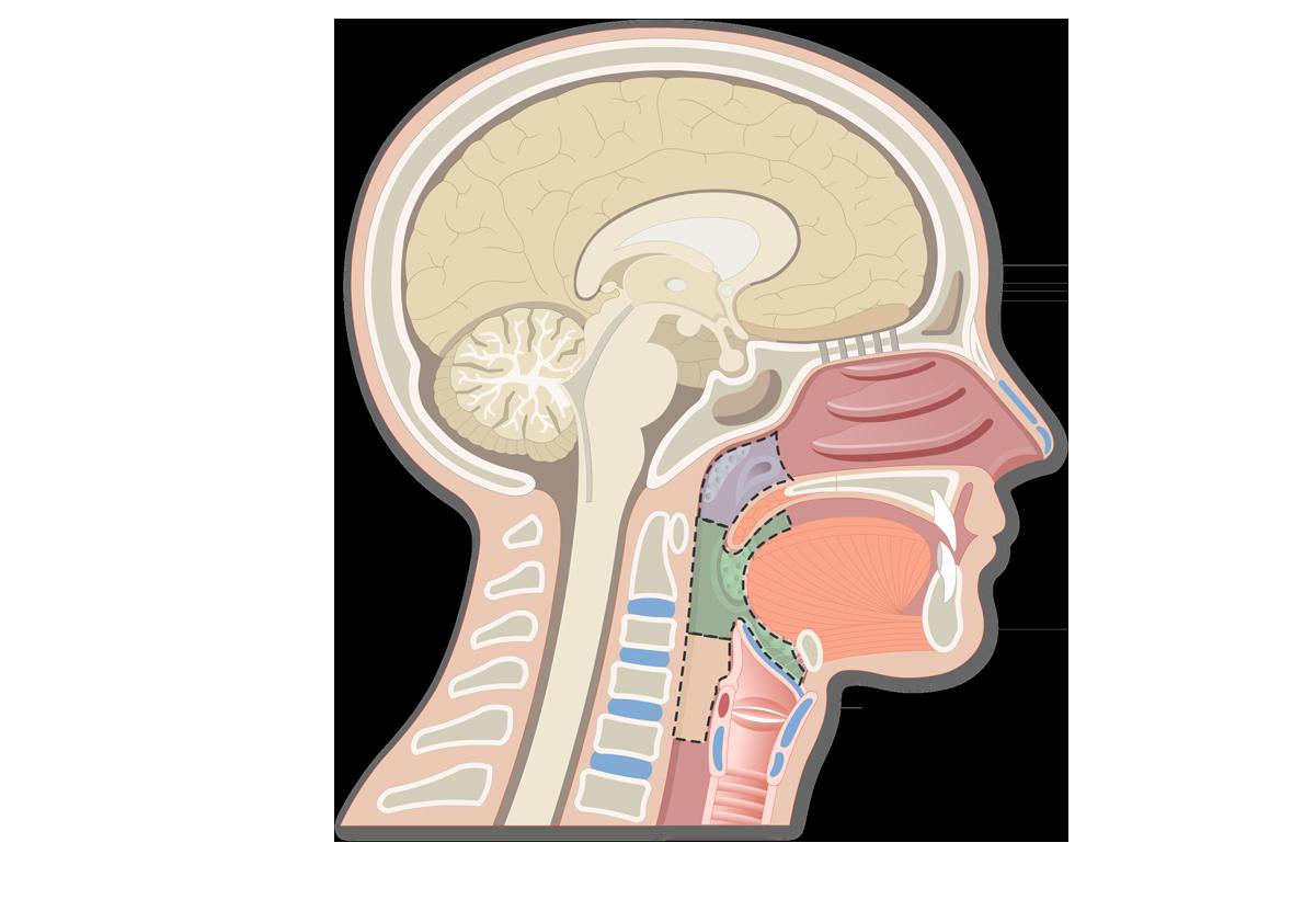 Pharynx Anatomy Quiz: Regions, Linings, & Openings